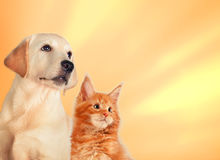 Cat and dog together, maine coon kitten, golden retriever looks at right. Yellow background Stock Photo