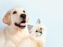 Cat and dog together, neva masquerade kitten, golden retriever looks at right.  stock photography