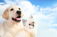 Cat and dog together, neva masquerade kitten, golden retriever looks at right.  Stock Photo