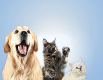 Cat and dog together, neva masquerade kitten, golden retriever looks at right royalty free stock image