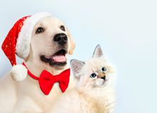Cat and dog together, neva masquerade kitten, golden retriever looks at right. Puppy with christmas hat and bow. New year mood Royalty Free Stock Photo