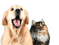 Cat and dog together, siberian, golden retriever looks top, isolated on white stock image