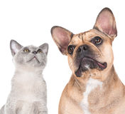 Cat and dog. Together on white royalty free stock photo