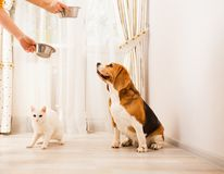 Animals are waiting for some food. The cat and the dog are waiting for some food in the light room Royalty Free Stock Photos