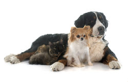Cat and dogs. Maine coon cat , chihuahua and bernese mountain dog in front of white background Stock Image