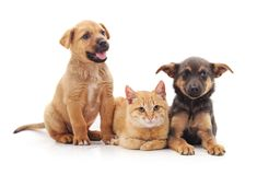 Cat and dogs together lying. Cat and dogs together lying on a white background stock photography