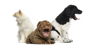 Cat and dogs yawning Stock Image