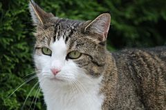 Cat, Domestic Cat, Pet, Green Eyes Stock Photography