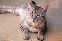 Portrait of a beautiful purebred housecat Stock Photos