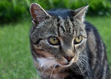 Cat. The domestic cat, Felis catus or Felis silvestris catus, is a small, typically furry, domesticated, and carnivorous mammal royalty free stock photo