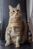 Cat. The domestic cat or the feral cat is a small, typically furry, carnivorous mammal Royalty Free Stock Image
