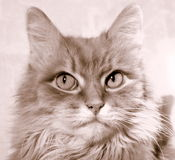 Cat. The domestic cat, round head, a short muzzle, with a fairly wide jaws and sharp predatory teeth. Eyes large, erect ears. the average body length 50-750 cm stock photo