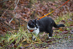 Cat. Domestic cat was taken to a walk stock photo