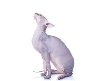 Cat of Don Sphynx breed. On white background royalty free stock photo