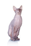 Cat of Don Sphynx breed royalty free stock images