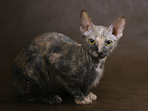 Cat Don Sphynx breed. Royalty Free Stock Photo