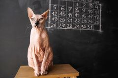 Cat of the Don Sphynx breed sits on a chair on a dark chalkboard stock image