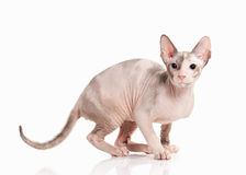 Cat. Don sphynx kitten on white background Royalty Free Stock Photo
