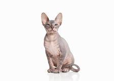 Cat. Don sphynx kitten on white background Stock Photo