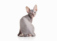 Cat. Don sphynx kitten on white background Stock Image