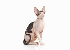 Cat. Don sphynx kitten on white background Stock Photography