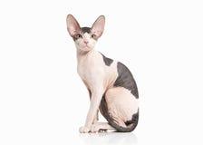 Cat. Don sphynx kitten on white background Stock Images