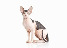 Cat. Don sphynx kitten on white background Royalty Free Stock Photography