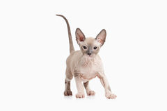 Cat. Don sphynx kitten on white background Royalty Free Stock Image