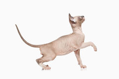 Cat. Don sphynx kitten on white background Stock Photos