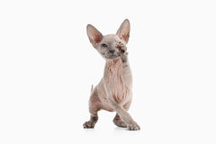 Cat. Don sphynx kitten on white background Stock Images