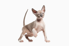Cat. Don sphynx kitten on white background Royalty Free Stock Photos