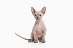 Cat. Don sphynx kitten on white background Stock Photography