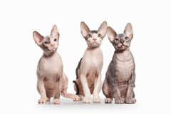 Cat. Don sphynx kittens on white background Stock Photography