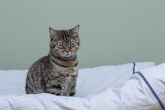 Cat dozing. With eyes closed sitting on the bed stock image
