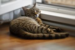 The cat is dozing. Near the open window stock image