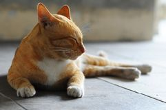 Cat dozing off. A relaxed cat dozing off royalty free stock photos