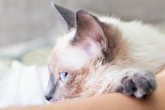 The cat is dozing, putting his paw on the man. Thai cat head close up, selective focus, blurred background stock images