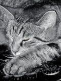 Cat is dozing Royalty Free Stock Photo