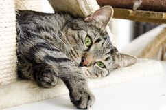 Cat, Dragon Li, Mammal, Small To Medium Sized Cats Stock Photos