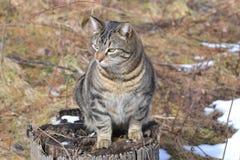 Cat, Dragon Li, Mammal, Small To Medium Sized Cats Royalty Free Stock Photography