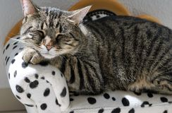 Cat, Dragon Li, Small To Medium Sized Cats, Mammal Royalty Free Stock Photo