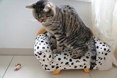 Cat, Dragon Li, Small To Medium Sized Cats, Mammal Stock Photography