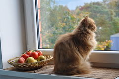 Cat dream. Ginger cat sitting on the windowsill near the apple orchard and looks out the window Stock Photography