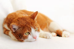 Cat Dreaming Royalty Free Stock Photos