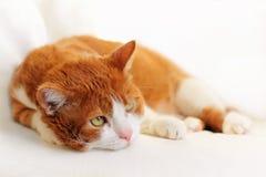Cat Dreaming royalty free stock photos