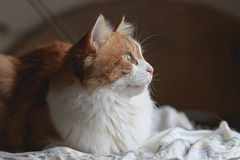 Cat in dreams. Beauty orange white cat in dreams and hope Royalty Free Stock Photography