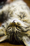 Cat dreams Royalty Free Stock Photo