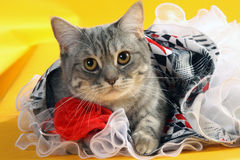 Cat in a dress. Cute cat in a smart dress with ruffles Stock Image