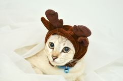 Cat dress up the elk hat Stock Photos