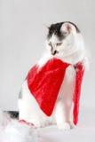Cat dressed as Santa Claus. White cat with dark spots dressed as Santa Claus Royalty Free Stock Images